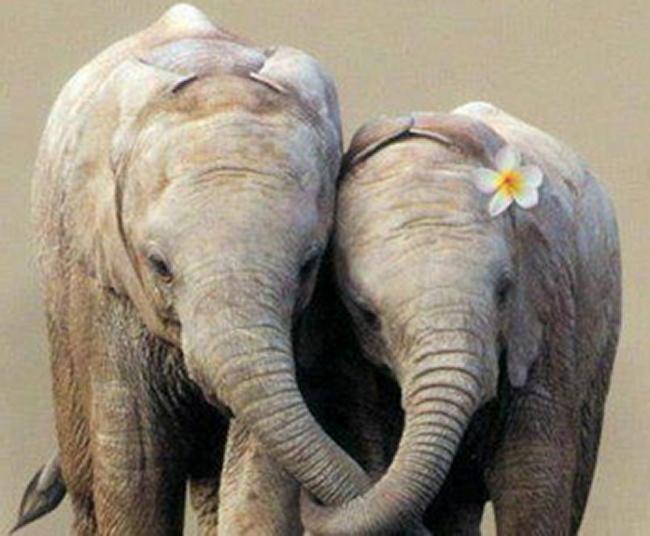 éléphants enlacés