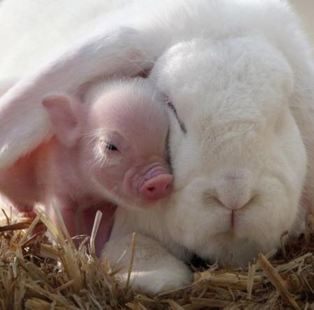 cochon et lapin