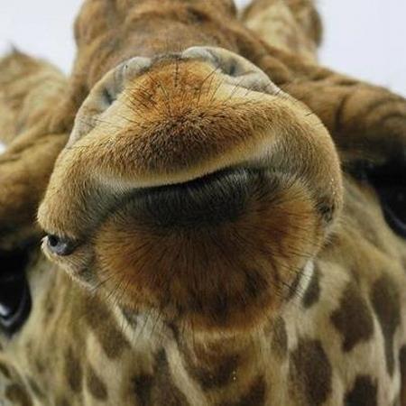girafe bisous