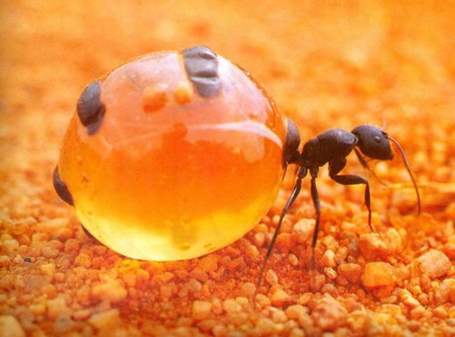 fourmi-pot-de-miel