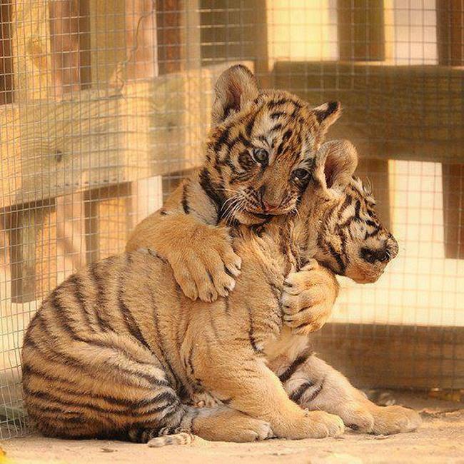 Tigres câlins