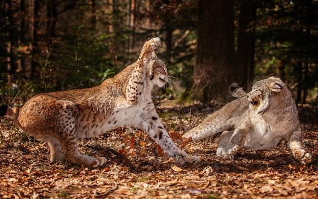 Tigres lutte