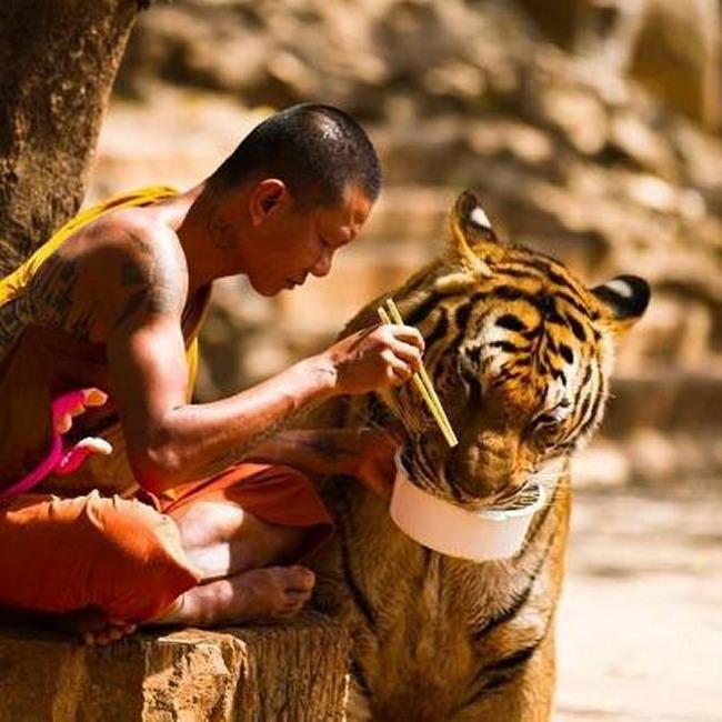 moine nourrit tigre