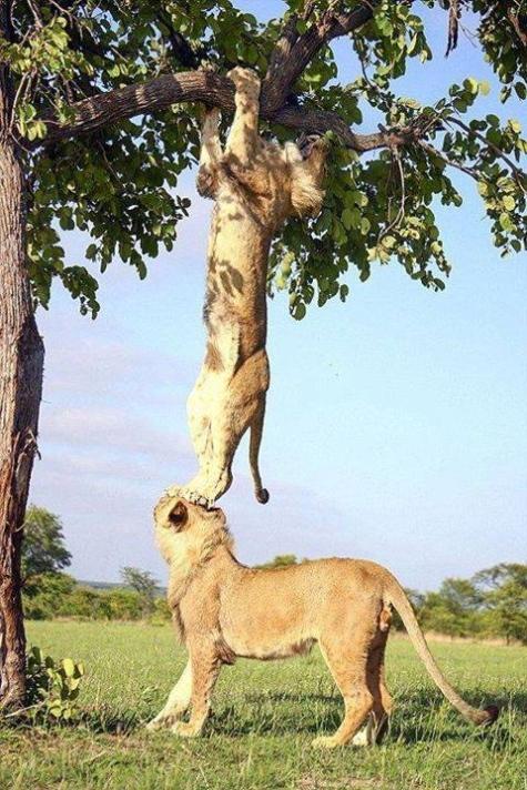 Lion arbre