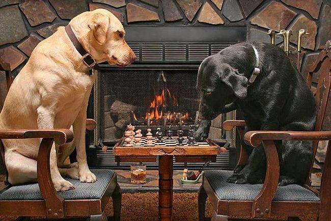 chiens échecs