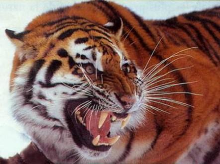 Tigre en colère