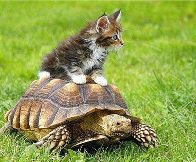 chat tortue