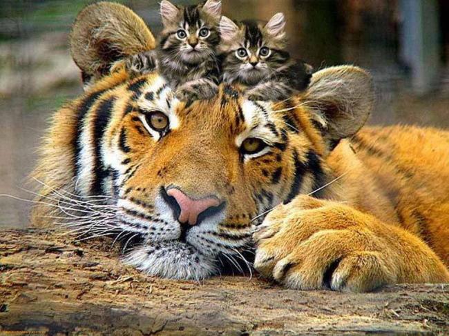 Tigre chatons