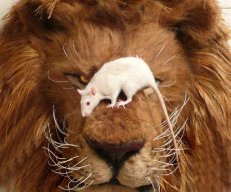 souris lion