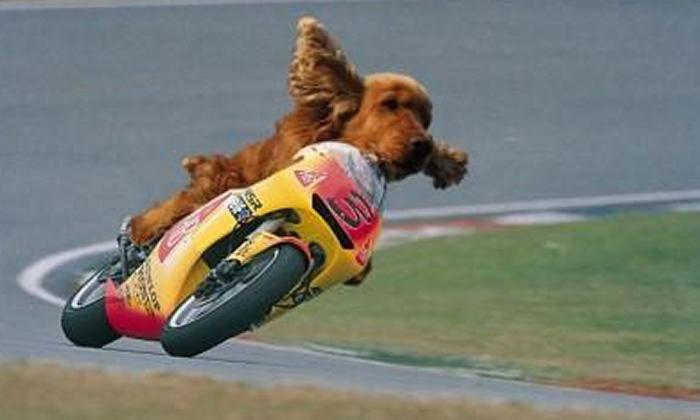 Chien à moto