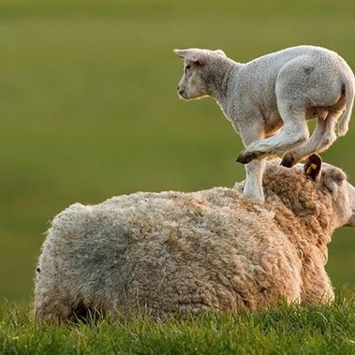 saut mouton